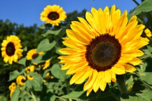 Join Bedford's The Sunflower Project